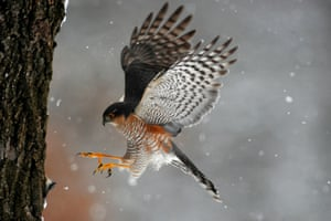 A sparrowhawk hunts near Pomaz, Hungary