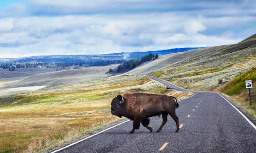 A bison crossing the road in Yellowstone national park