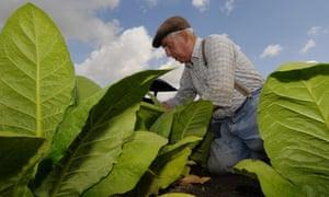 A farmer harvests tobacco plants