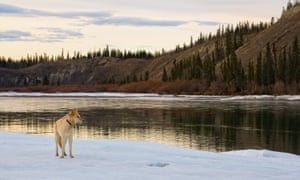 Mixed breed dog standing on partially frozen Yukon River