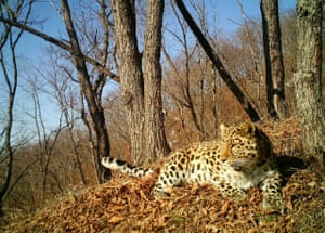 With only about 100 amur leopards remaining in the wild, capturing one on camera was a rare feat. This amur leopard, known as Typhoon,