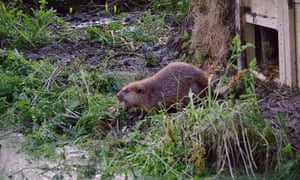 One of the pair of beavers leaves its lodge to explore its new home on the river Otter in Devon