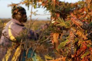 A man harvests desert locusts, near the town of Rumuruti, Kenya, February, 2021.