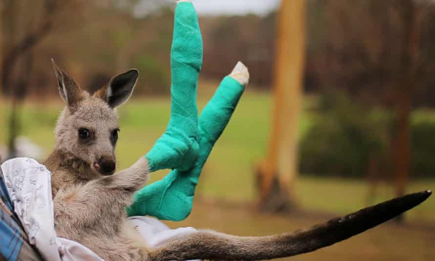 An orphaned joey whose feet were burned in the NSW south coast bushfires in January 2020