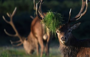 A stag deer with undergrowth on its antlers in Richmond Park, London.