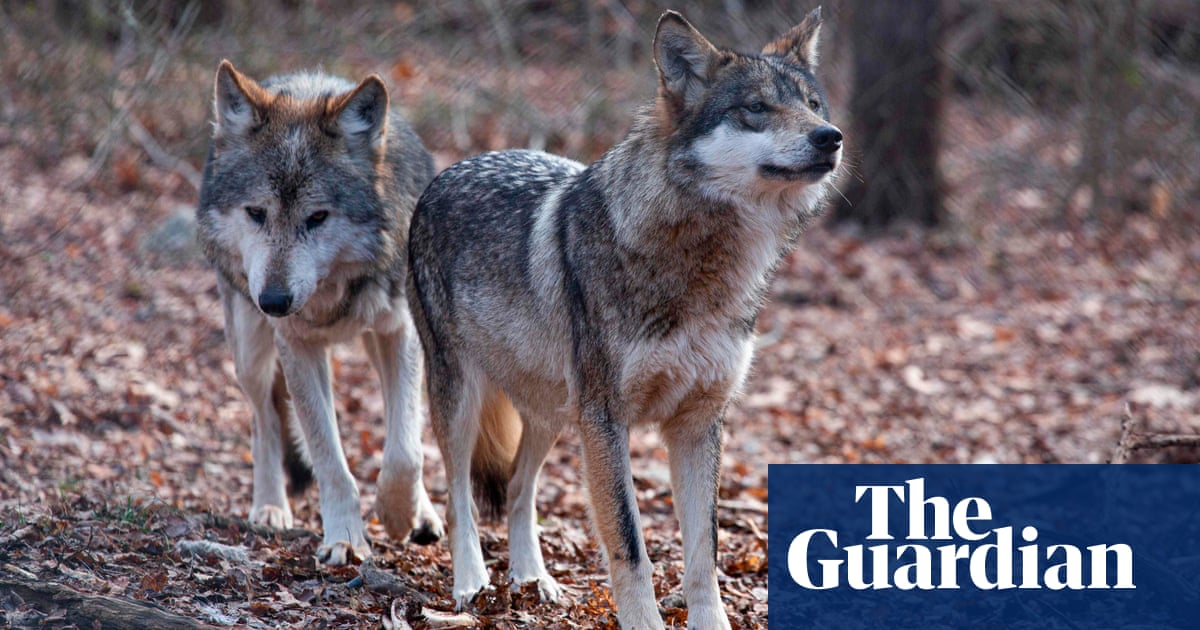 Rarest subspecies of wolf in North America sees population almost double in five years