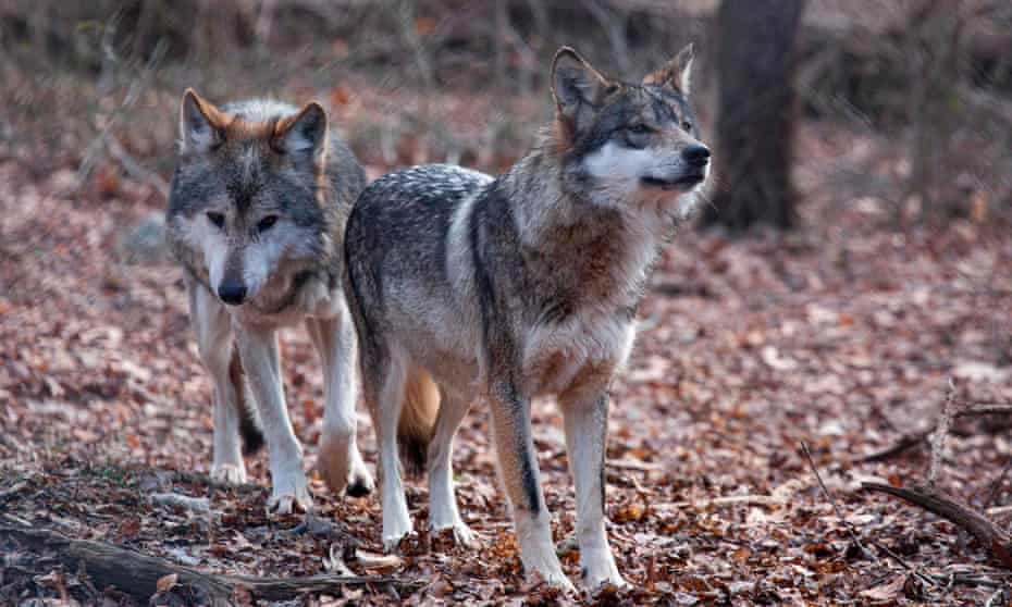 Two Mexican wolves named Valentia and Diego walk inside a cage at a Wolf Conservation Center on December 6, 2020 in South Salem, New York.