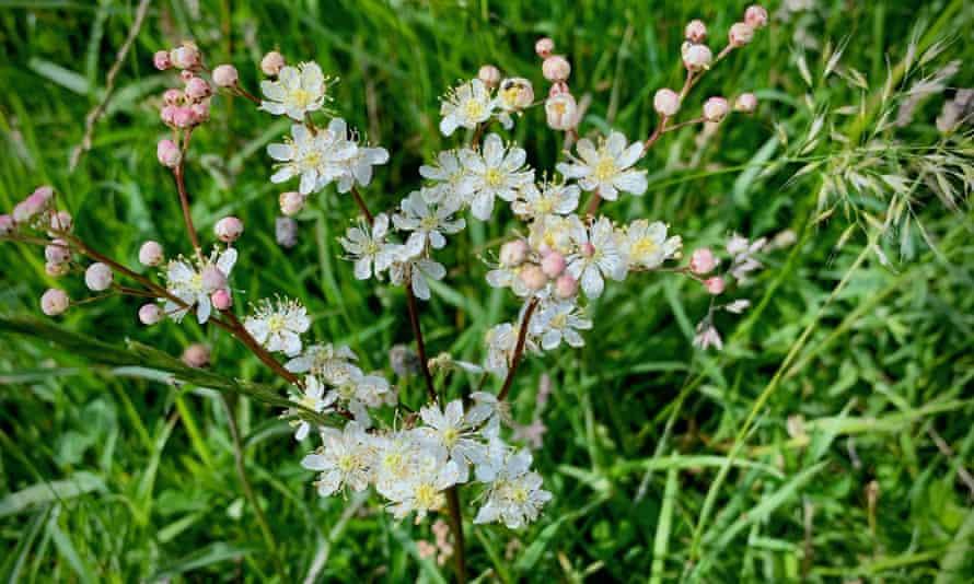 Dropwort, Fillipendula vulgaris