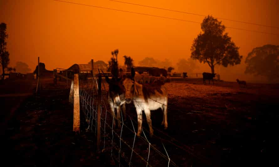 Animals stand near a destroyed house in Cobargo, NSW during the Black Summer bushfires in January 2020.