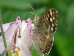 A speckled wood butterfly feeding from a hole in a columbine nectary chewed by a bumblebee