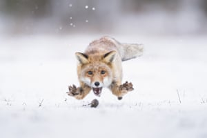 A fox pounces on a mouse in the snowy hills on the border of the Czech Republic and Slovakia.