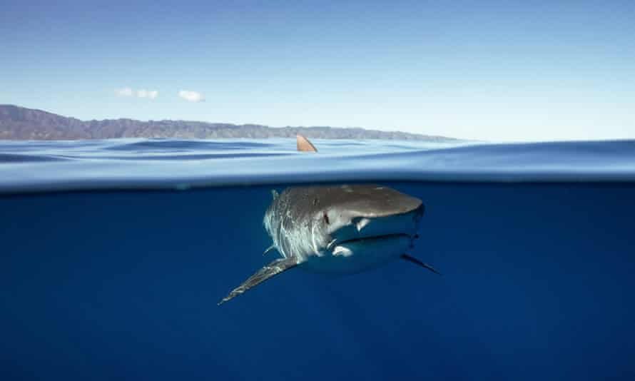 """Sharks have been the subject of tour operations advertising nighttime """"big game"""" fishing expeditions in Hawaii."""