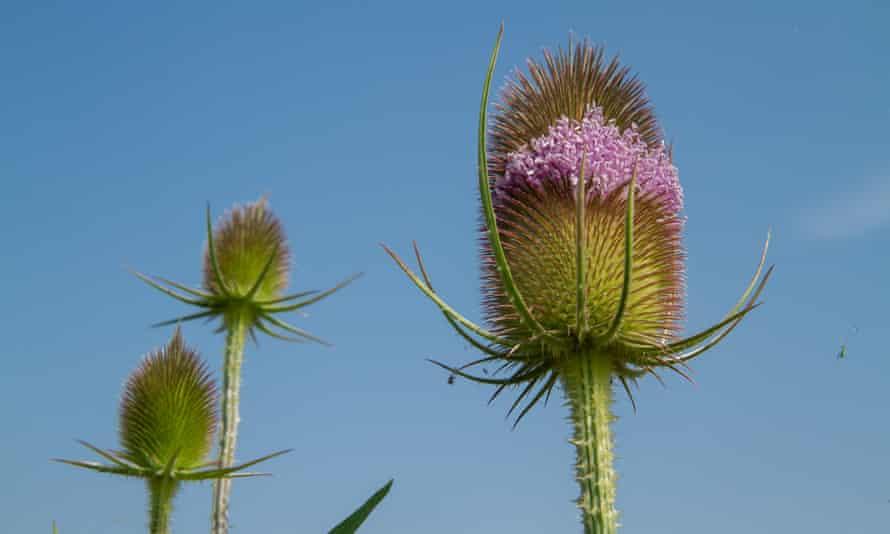 A teasel plant