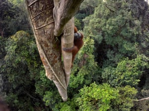 Orangutan, Gunung Palung national park, Borneo, Indonesia, 2015.