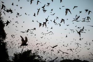 Bats fly out from Linno Gu cave in Hpa-An, Myanmar.