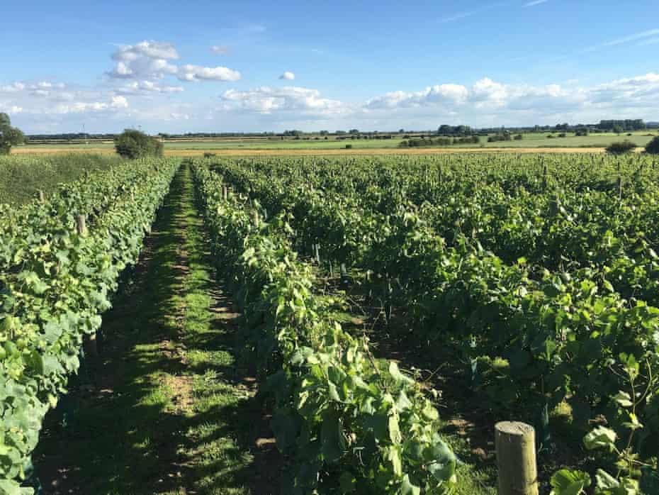 Vines at Laurel Vines, north of Beverley, Yorkshire, UK.