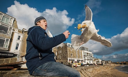 Herring gull (Larus argentatus) snatching food from man's hand in St Ives, Cornwall.