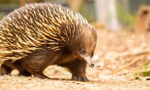 Matilda the Echidna eating mealworms.