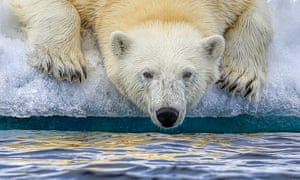 A polar bear drinks Arctic water in Svalbard, Norway