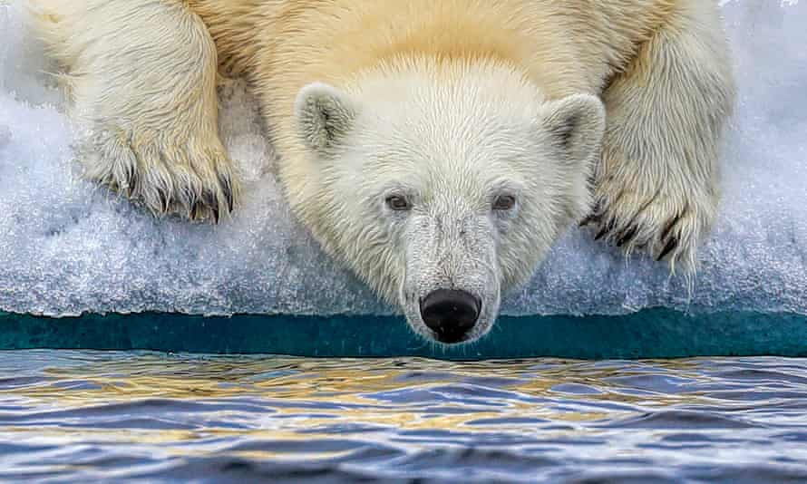 A polar bear drinks Arctic water in Svalbard, Norway