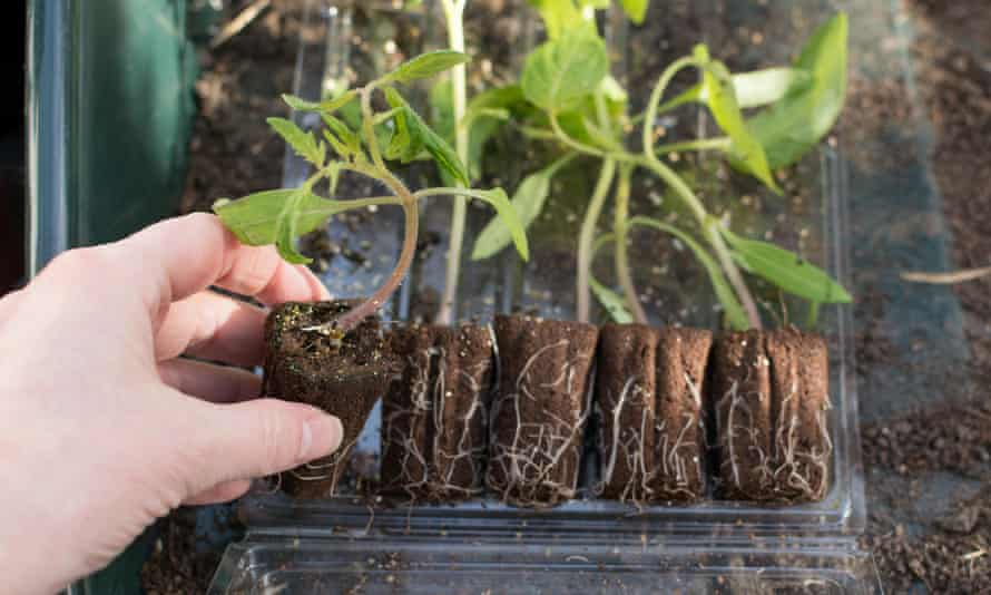 Tomato plug plants seedlings delivered by post