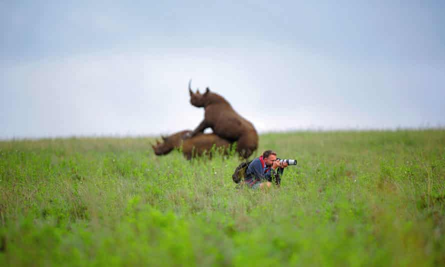 Mating rhinos behind a photographer facing the other way