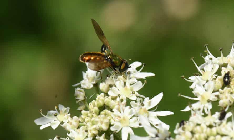 A broad centurion soldier fly