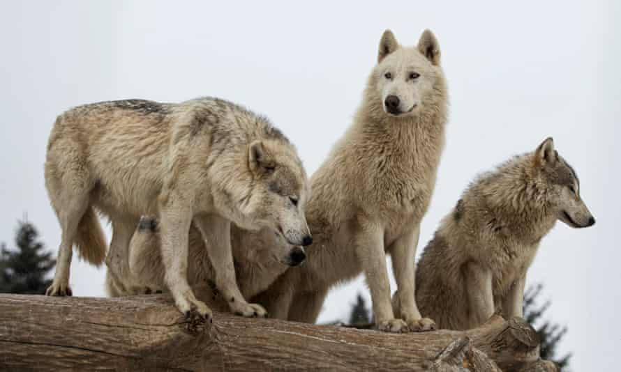 'According to the most recent data, there are only 108 wolves in Washington state, 158 in Oregon, and 15 in California. Wolves are functionally extinct in Nevada, Utah, and Colorado.'