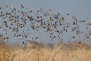 Wood pigeon (Columbus palumbus) flock, in flight over farmland