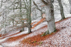 Wild woods: Seasonal Overlap (European Beech), Aviemore, Highlands, Scotland, James Roddie