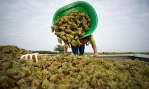 Harvesting grapes at the muscadet vineyards near Nantes, western France