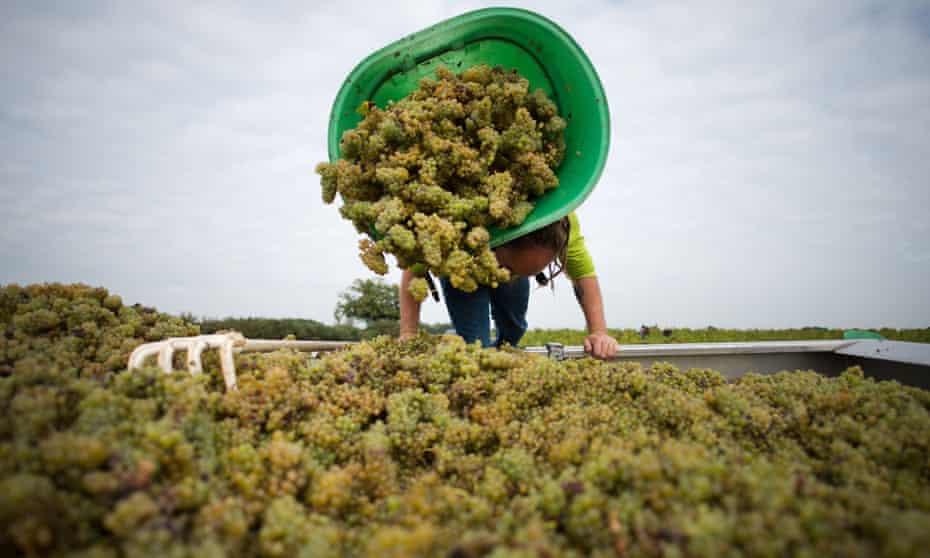 Harvesting grapes at the muscadet vineyards near Nantes, western France