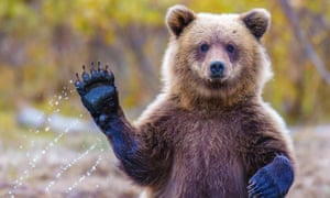 The grizzly bear is listed as an endangered species in the US.