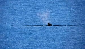 Orcas in the sea ice, Ross Sea, Antarctica