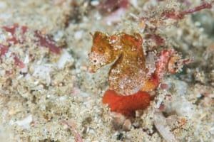 Hippocampus nalu, the South African pygmy seahorse, in Sodwana Bay, off the north-eastern coast of the country.