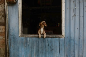 A curious dog looks out of a window in  Buenaventura, in the Valle del Cauca region of Colombia
