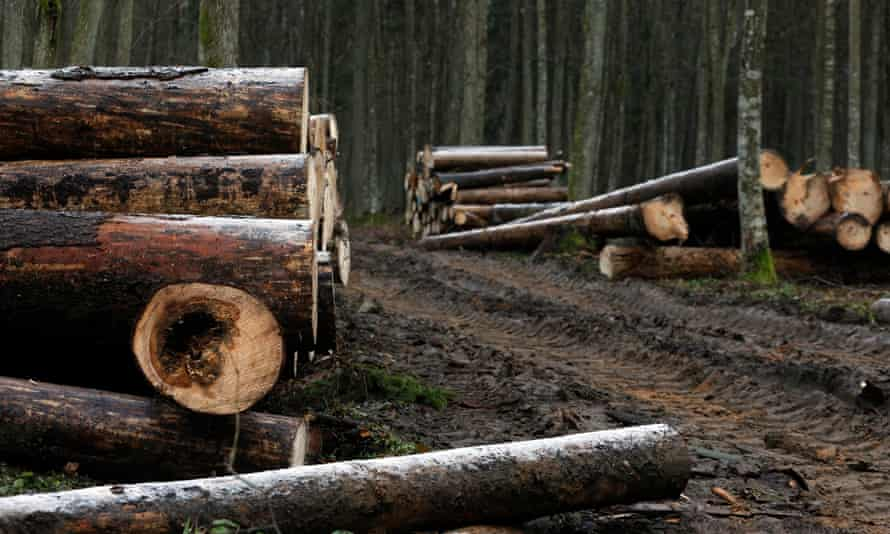 Logged trees are piled up in the Bialowieza Forest in eastern Poland