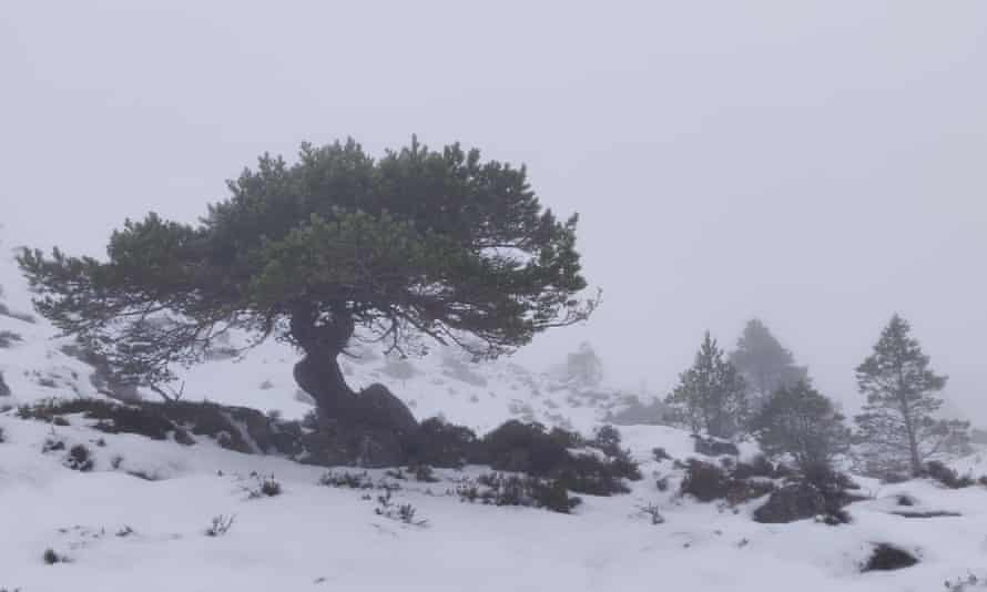 A Scots pine on the hillside.