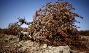Dead almond trees are seen near Bakersfield, California.