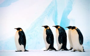 An emperor penguin group in front of the Dawson-Lambton glacier