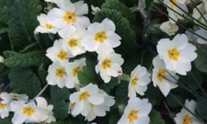 Full of promise: the primrose is one of the earliest of spring's flowers
