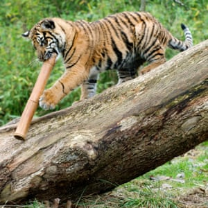 A cub playing in the Tiger Territory