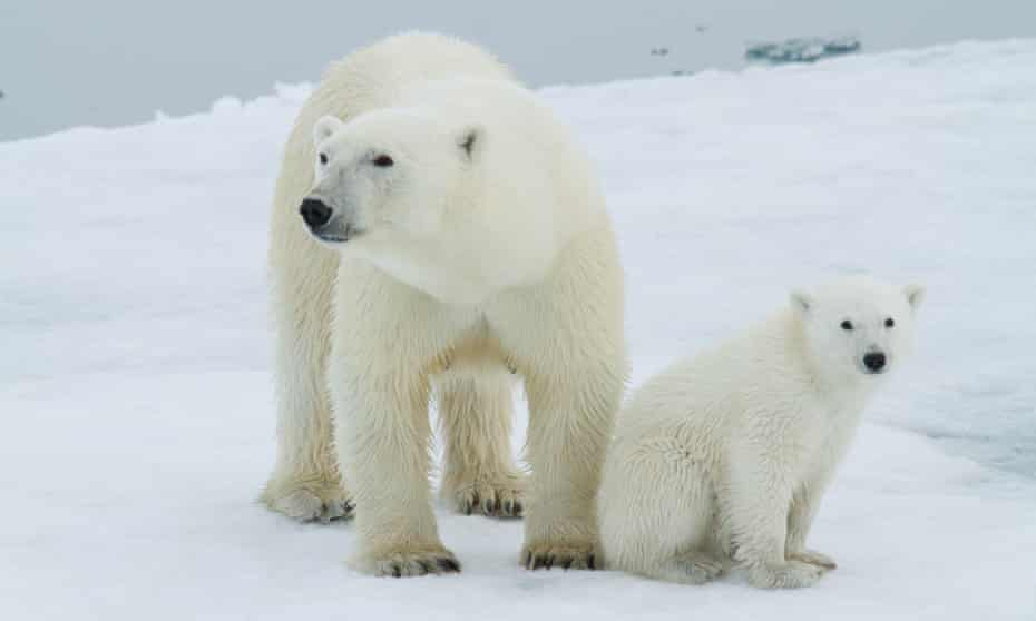 A polar bear and her cub hunting their main prey, ringed seals, on sea ice near the Svalbard archipelago in Norway.