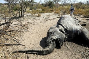 Dr Wave Kashweeka, a principal veterinary officer, stands over the carcass of an elephant found near Seronga, in the Okavango Delta, Botswana
