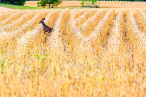 Female white-tailed deer running through a field of soybeans, Wisconsin, US