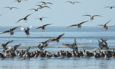 flock of wading birds, in water and sky