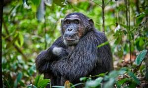 A chimp at Kibale National Park in Uganda.