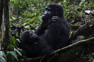A mountain gorilla from the Mukiza family rests with an infant in Bwindi Impenetrable national park, Uganda