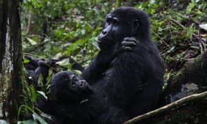 A mountain gorilla from the Mukiza family rests with an infant in Bwindi Impenetrable National Park, Uganda.