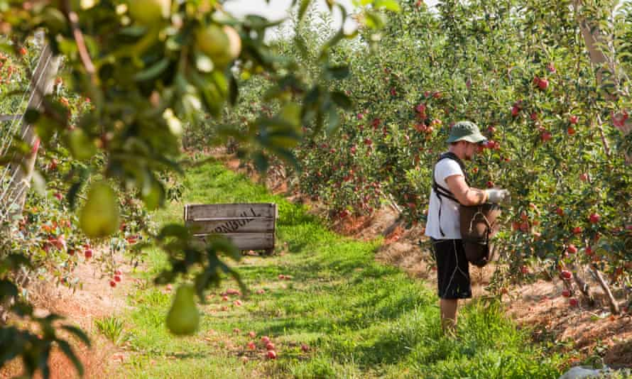 A man picks apples near Shepparton, Victoria, Australia